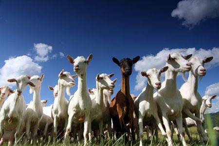 Chèvres sur le plateau des Gras