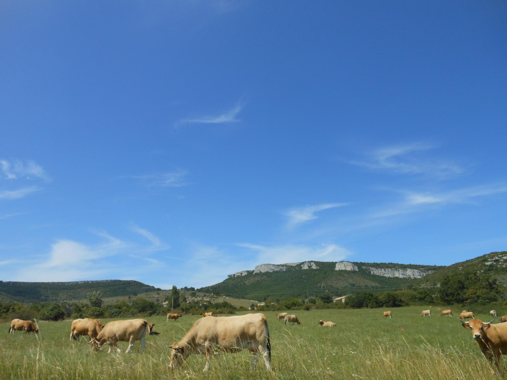 Vache de race Aubrac au pied de la Dent de Retz en Ardèche