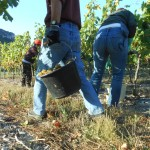 Vendanges manuelles du Viognier en Ardèche au pied de la Dent de Retz