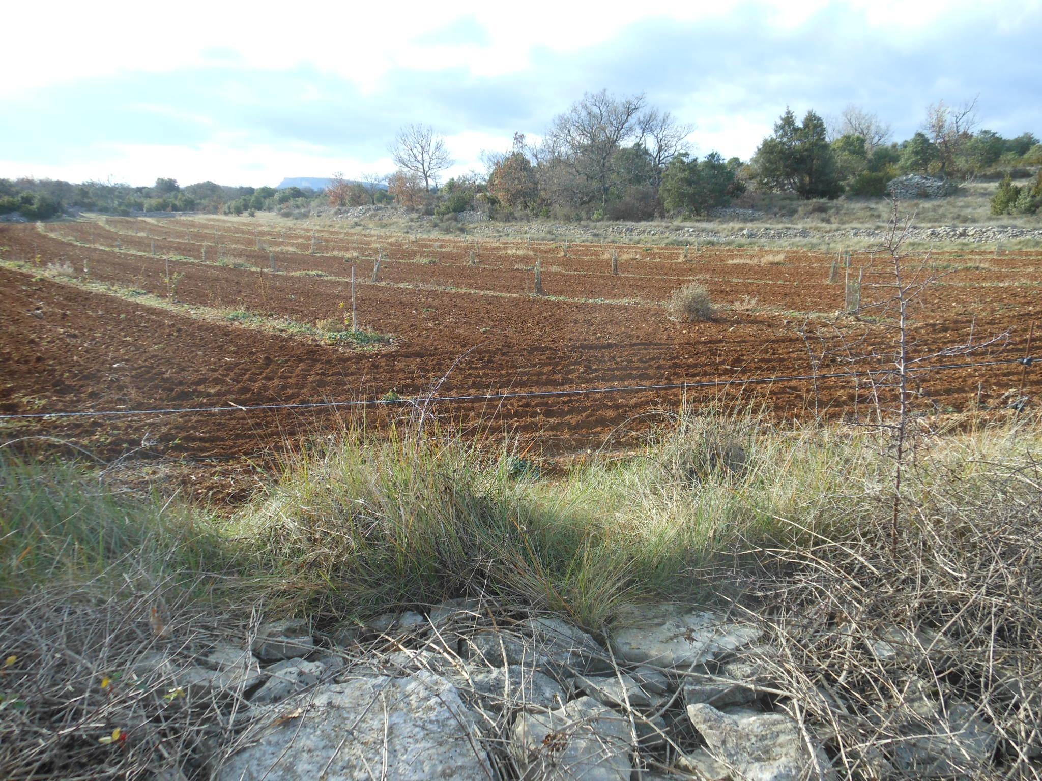 Plantation de chênes truffiers.