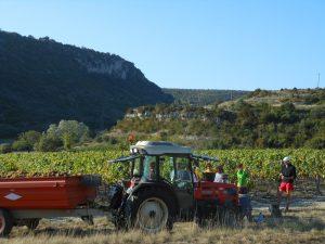 Vendange de viognier en Ardèche. Location Maison Bleue gîte de groupe.